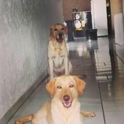 Filhotes de Labrador Puros