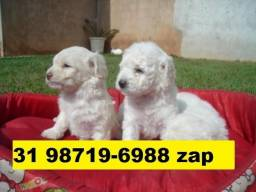 Canil Líder Cães Filhotes BH Poodle Basset Beagle Shihtzu Lhasa Yorkshire