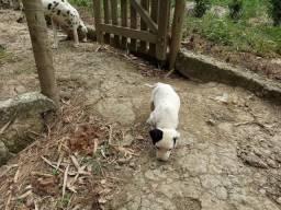 Filhote de cachorro Dálmata