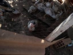 Vendo casal de patos