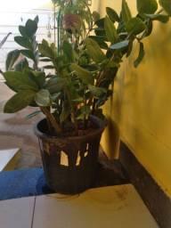 Zamiocucas é uma planta bonita