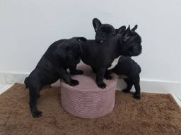 Título do anúncio: Bulldog Francês disponíveis