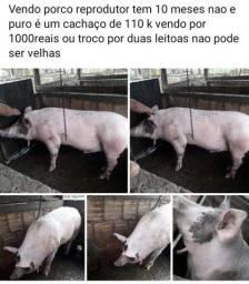 Título do anúncio: Vendo porco