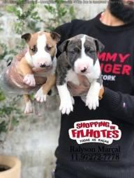 Bull Terrier mini, dividimos em até doze vezes no cartão sem juros