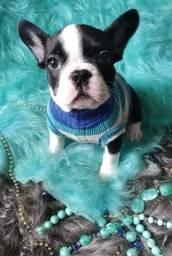 Título do anúncio: Filhote Bulldog Francês Macho