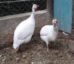 Título do anúncio: Ovos de angola branca