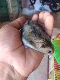 Casal adulto hamster anão russo