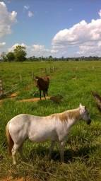 Cavalo apaluzo