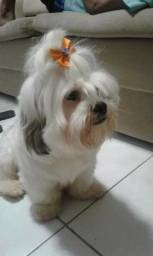 Filhote de cachorro Lhasa Apso