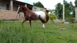 Cavalo appaloosa (quarto de milha)