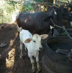 Vende-se uma vaca com o bezerro por 4.500