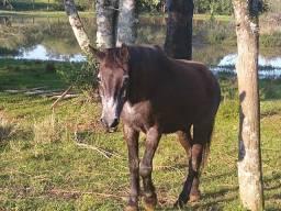 Vendo cavalo manço