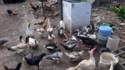 Venda de Patos - machos e fêmeas