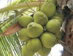 Coco verde, valor 0,70