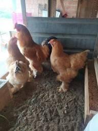 Título do anúncio: Ovos galados galinha Brahma buff