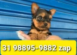 Título do anúncio: Cães Incríveis Filhotes BH Yorkshire Maltês Beagle Lhasa Shihtzu Basset