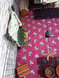Um cercado e 2 porquinho da Índia completo