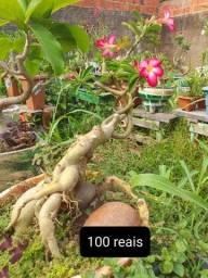 Título do anúncio: rosas do deserto !! 30 a 200 reais