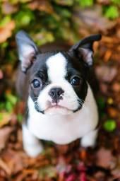 Bulldog Francês vacinados e com melhor procedencia