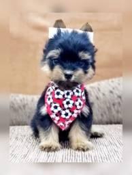 Fotos verdadeiras, incrível yorkshire terrier macho