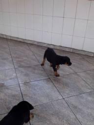 Rottweiler lindos disponíveis