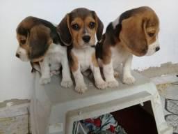 Título do anúncio: Lindos filhotes cachorro beagle