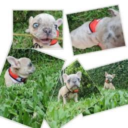 Título do anúncio: Bulldog buldogue frances EXOTICOS  MACHOS MERLE BLUE