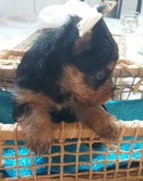 Título do anúncio: Filhote macho Yorshire Terrier