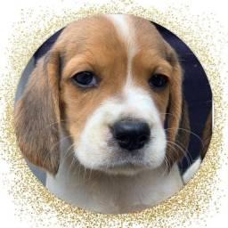 Beagle com pedigree e micro chip em até 12x