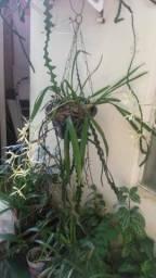 Título do anúncio: Vaso pendente com orquidea miltonea e cacto sianinha.