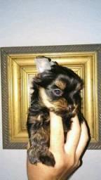 Filhotes de Yorkshire terrier fêmeas micro e Babyface já disponíveis ! !!