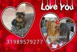 Título do anúncio: Cães em BH Yorkshire Maltês Poodle Pinscher