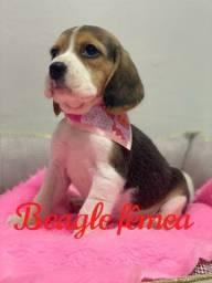 Um espetáculo de filhotes Beagle, venha conferir!