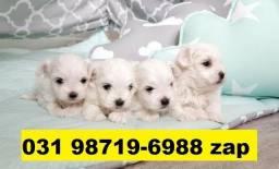 Canil-Filhotes Cães BH Maltês Yorkshire Shihtzu Beagle Basset Poodle