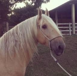 Título do anúncio: Cavalo Campolina - Marcha Picada