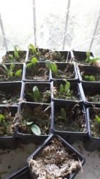 Título do anúncio: Orquidea baby. Catletleya walkeriana tipo. Ambientada fora do frasco.