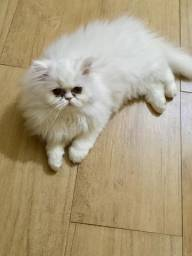 Vende-se filhote de gato persa