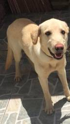 Labrador (Raça Pura)
