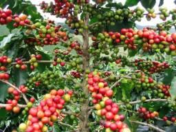 Oleo de neem - Inseticida natural Puro