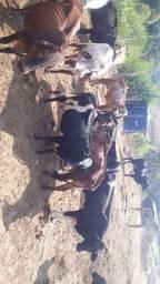 Vacas leiteiras