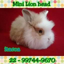 Minicoelho lion head