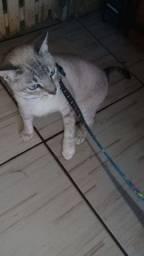 Gato siamês macho