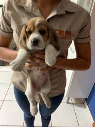 Filhote  de beagle  disponível