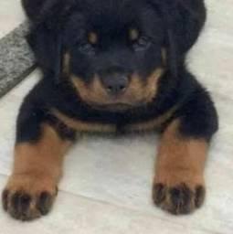 Rottweiler De Exposição  Cabeca de Touro Com Pedigree