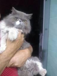 Gato persa disponível para namorada