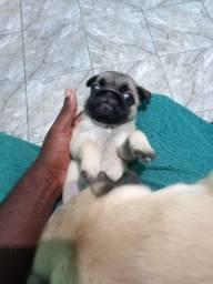 Título do anúncio: Cachorro raça pug