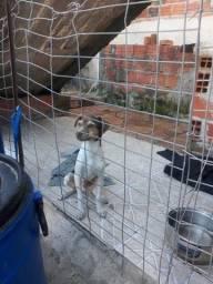 fox paulistinha macho(terrier brasileiro)