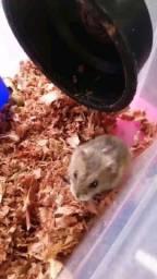 Título do anúncio: Criatório - hamster anão russo (filhotes)