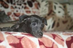 Título do anúncio: Filhote fêmea de Galguinho Italiano. Italian Greyhound. Pequeno Lebrel Italiano.