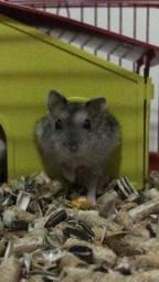 Título do anúncio: Doação de hamster (gratis)